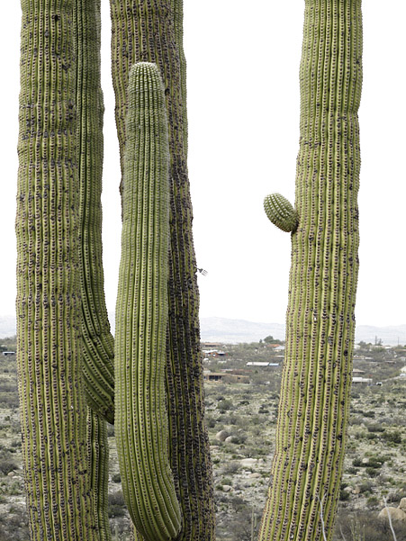 saguaro with fork 0299.jpg