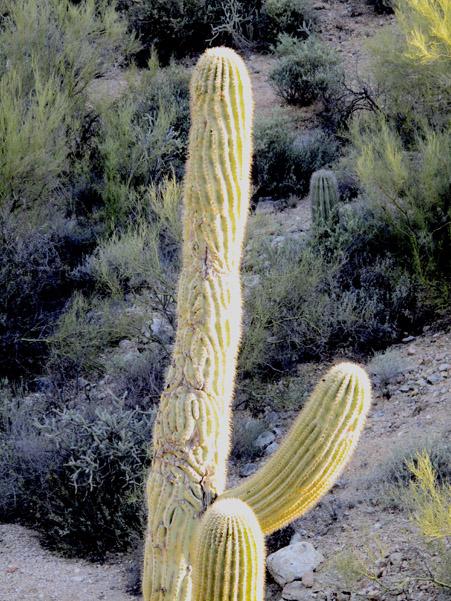 wormy cactus ribs 0375.jpg