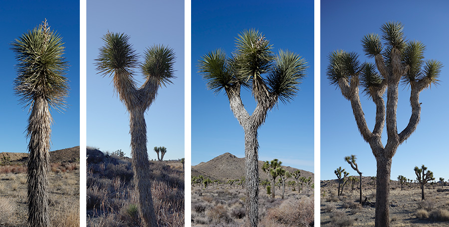 Joshua trees with 1 2 4 8 branches