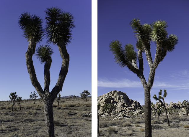 Trifurcated Joshua trees 1315 and 1414