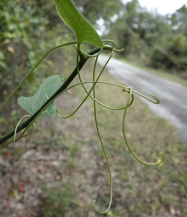 Passion vine tendrils