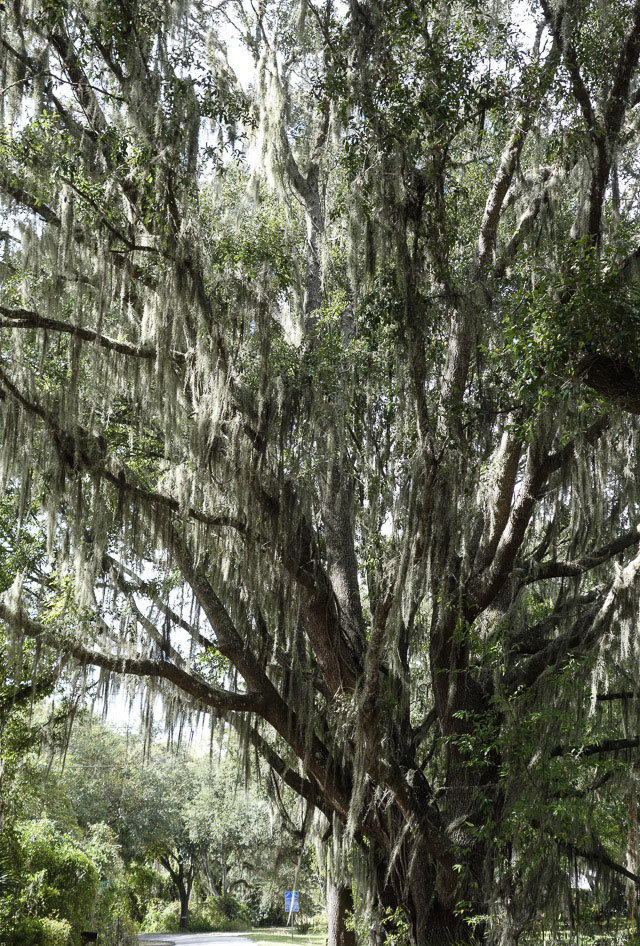Beards of Spanish moss in a live oak near the Mabel end of the Van Fleet Trail, Florida.