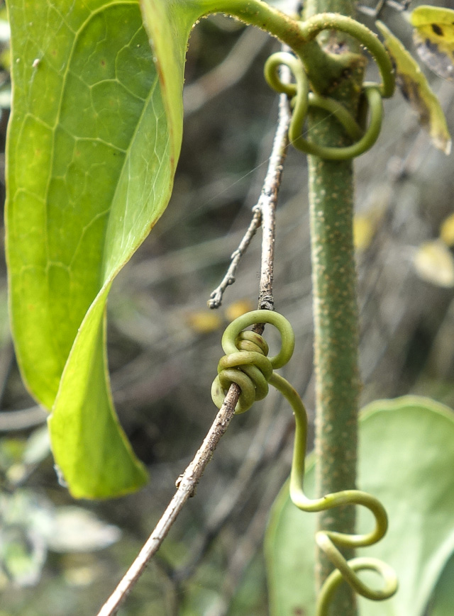 Passiflora tendril lashed to twig