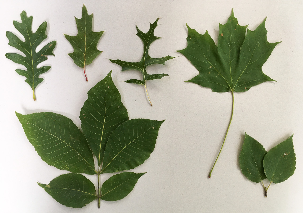 leaves arranged on a white background: white oak, red oak, pin oak, sugar maple, shagbark hickory, sweet birch
