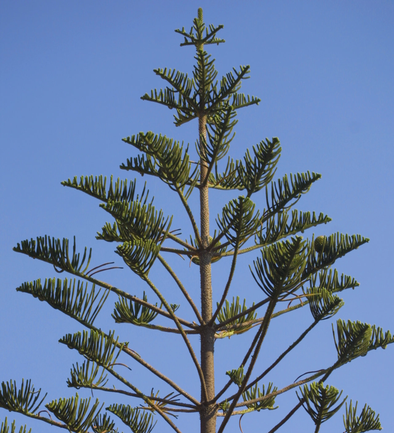 Upper branches of a small Norfolk Island pine on Sardinia.