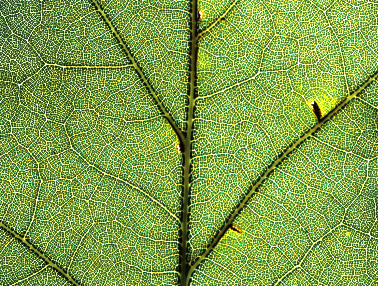 Veins within a leaf of a red oak tree form a complex network with many closed loops.