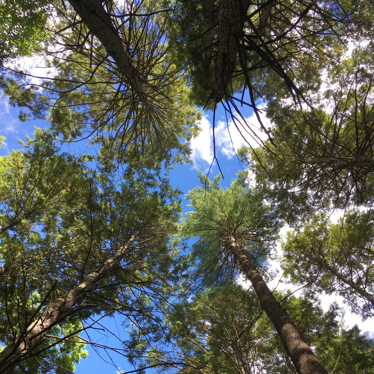 Photo from the forrest floor looking straight up, along the Robert Frost Trail in Amherst MA.