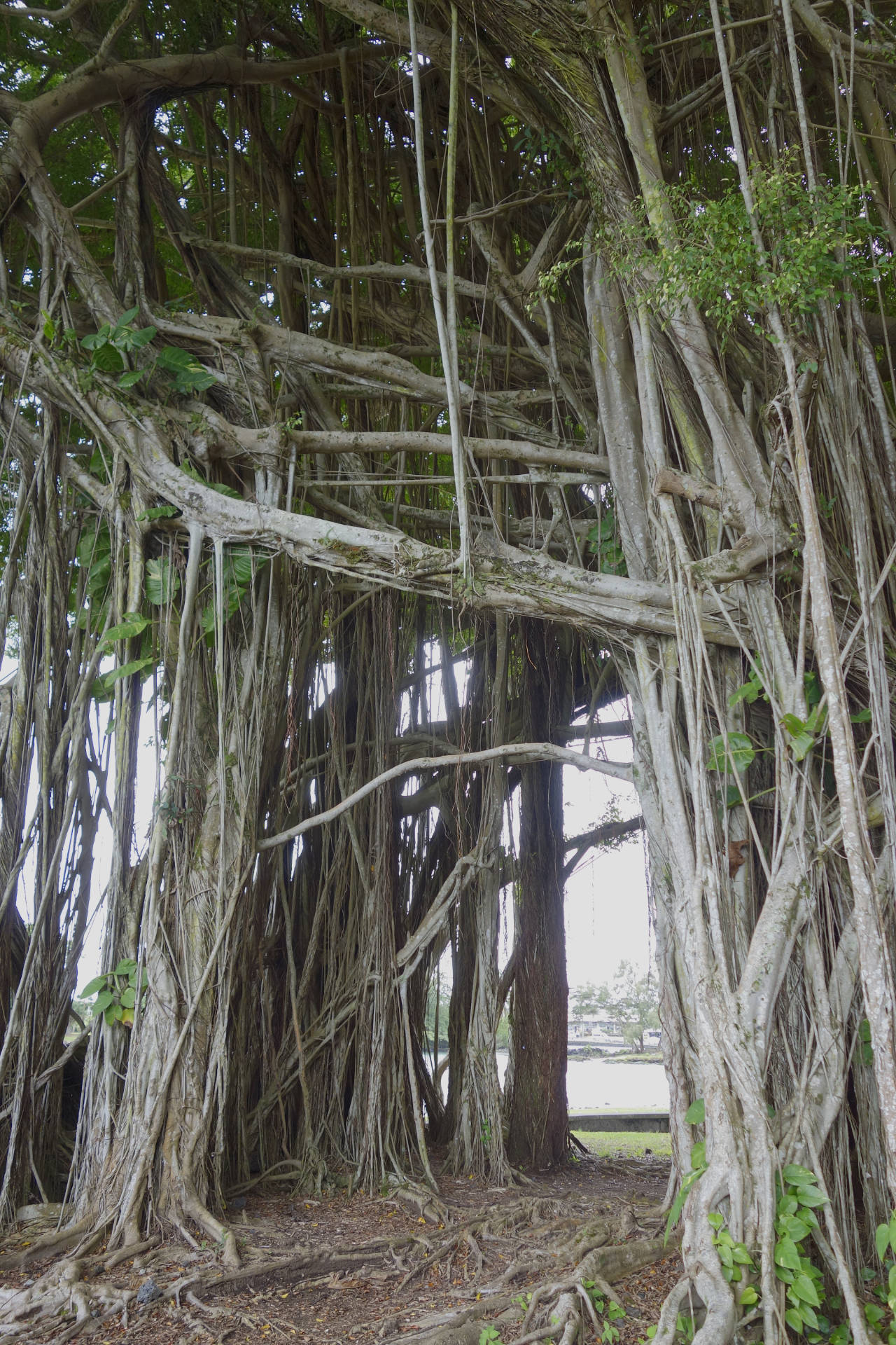 Banyan tree Hilo tunnel DSC5822