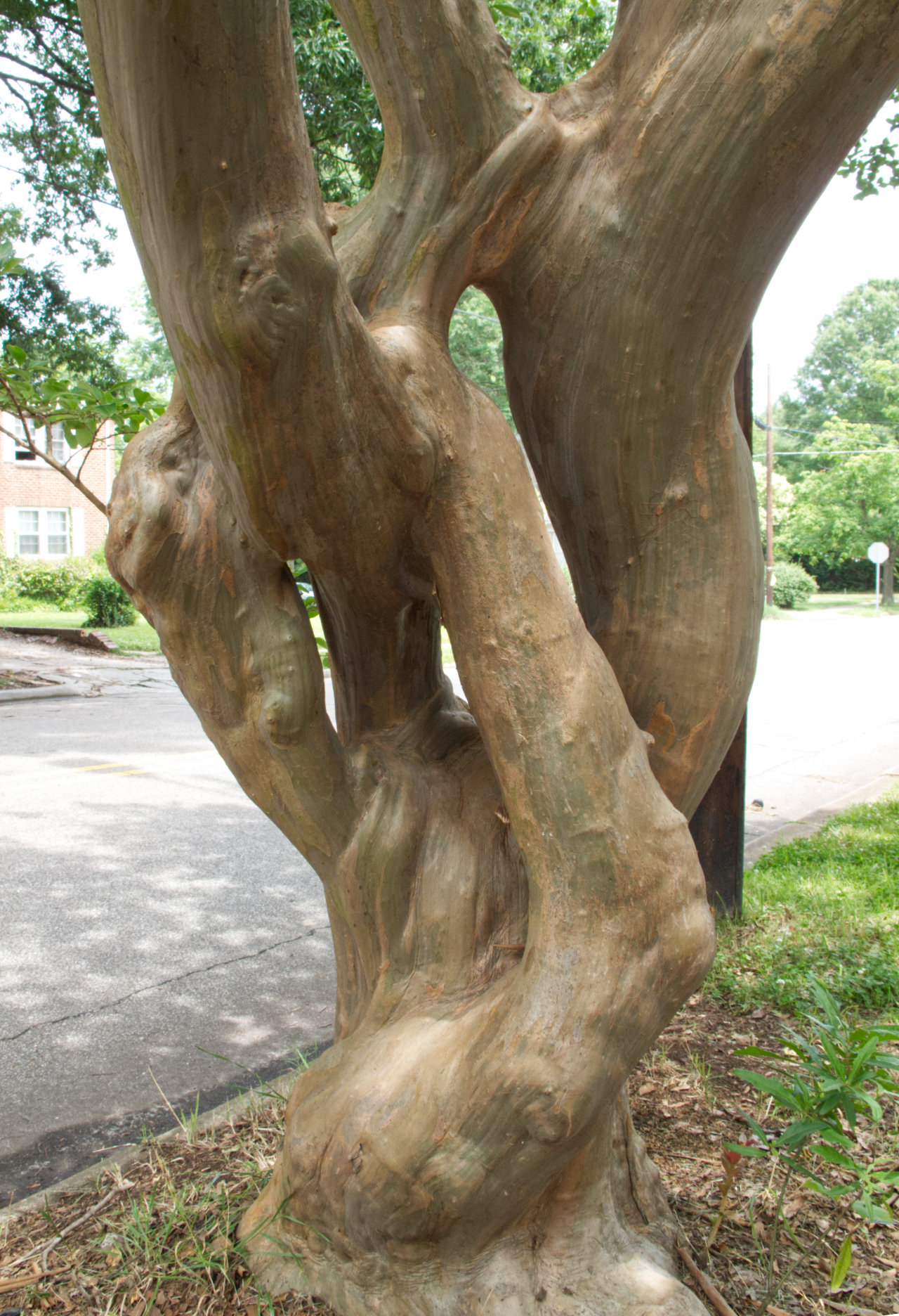 Crepe myrtle with multiple trunks that diverge and then reconverge