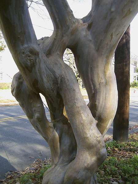 crepe myrtle with anastomosing stems